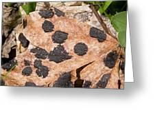 Tar Spot Fungus On Sycamore Greeting Card