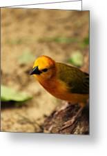 Taveta Golden Weaver 03 Greeting Card