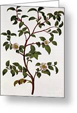 Tea Branch Of Camellia Sinensis Greeting Card by Anonymous