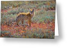 Teton Coyote Greeting Card