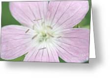Texas Baby Blue Eyes Nemophila Phacelioides Greeting Card