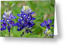 Texas Bluebonnets Greeting Card