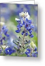 Texas Bluebonnets 04 Greeting Card