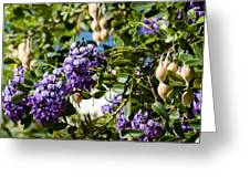 Texas Mountain Laurel Sophora Flowers And Mescal Beans Greeting Card
