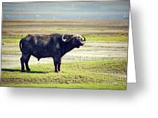 The African Buffalo. Ngorongoro In Tanzania. Greeting Card