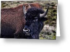 The American Bison Greeting Card