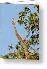 The American Kestrel Greeting Card