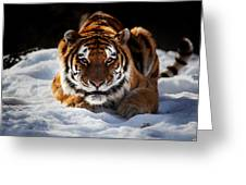 The Amur Tiger Greeting Card