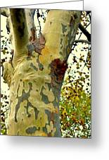 The Beatiful Sycamore Greeting Card
