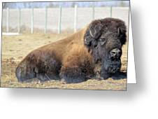 The Bison Greeting Card