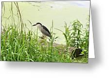 The Black-crowned Night Heron Greeting Card