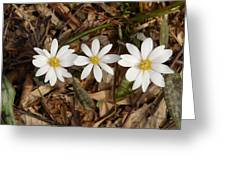 The Bloodroot Trio Greeting Card