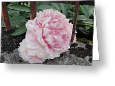 The Buxom Cabbage Rose Greeting Card