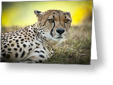 The Cheetah In Grass Greeting Card by Chad Davis