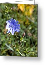 The Delicate Baby Blue Chickory Greeting Card