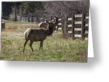 The Elk In Town Greeting Card
