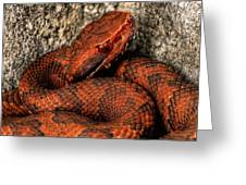 The Florida Cottonmouth Greeting Card