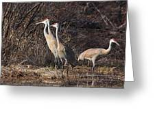 The Gathering...sandhill Cranes Greeting Card
