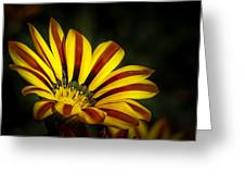 The Gazania Greeting Card