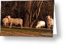The Gazing And Grazing Sheep Greeting Card