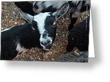 The Goat With The Gorgeous Eyes Greeting Card