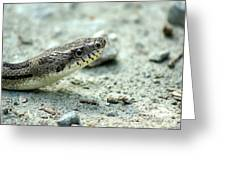 The Gray Eastern Rat Snake Right Side Head Shot Greeting Card