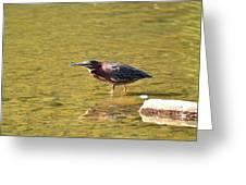 The Green Heron Eyes His Prey Greeting Card