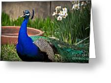 The Indian Peafowl Greeting Card