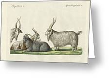 The Kashmir Goats Introduced In France Greeting Card
