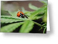 The Ladybug And The Cannabis Plant Greeting Card