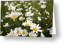 The Land Of White Daisies Greeting Card