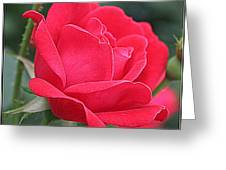 The Last Rose Of Spring Greeting Card