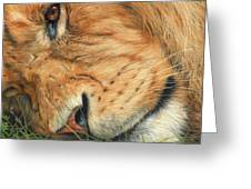 The Lion Sleeps Greeting Card by David Stribbling