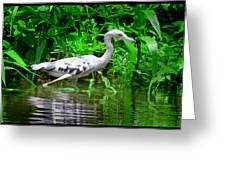The Little Blue Heron Greeting Card
