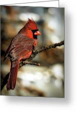 The Male Northern Cardinal Greeting Card