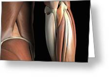 The Muscles Of The Elbow Rear Greeting Card