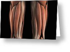 The Muscles Of The Upper Legs Rear Greeting Card