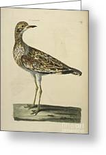 The Norfolk Plover Greeting Card