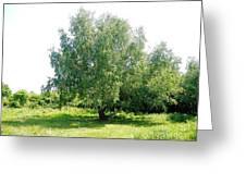 The Old Birch Tree Greeting Card
