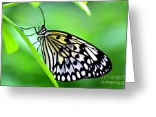 The Paper Kite Or Rice Paper Or Large Tree Nymph Butterfly Also Known As Idea Leuconoe Greeting Card