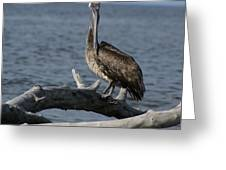 The Pelican Pose Greeting Card