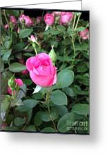 The Perfect Pink Rose 2 Greeting Card