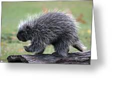 The Porcupine Walk Greeting Card