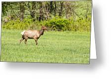 The Proud Elk Greeting Card