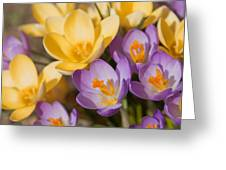 The Purple And Yellow Crocus Flowers Greeting Card