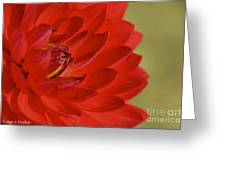 The Red Sun Dahlia Greeting Card