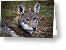 The Red Wolf Greeting Card