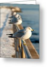 The Ring-billed Gull Greeting Card