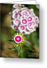 The Star - Beautiful Spring Dianthus Flowers In Bloom. Greeting Card