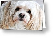 The Sweetest Maltese Greeting Card
